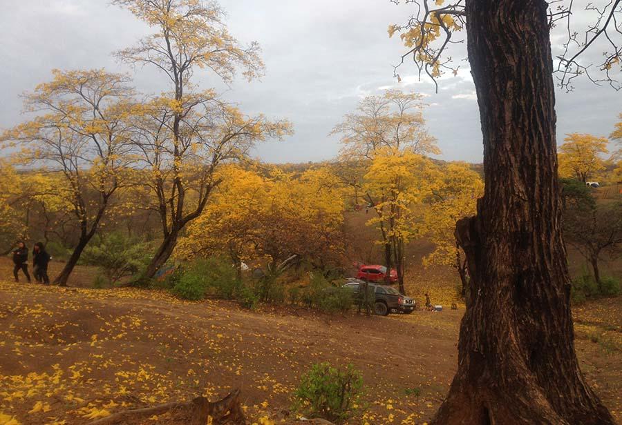 florecimiento de guayacanes en Ecuador