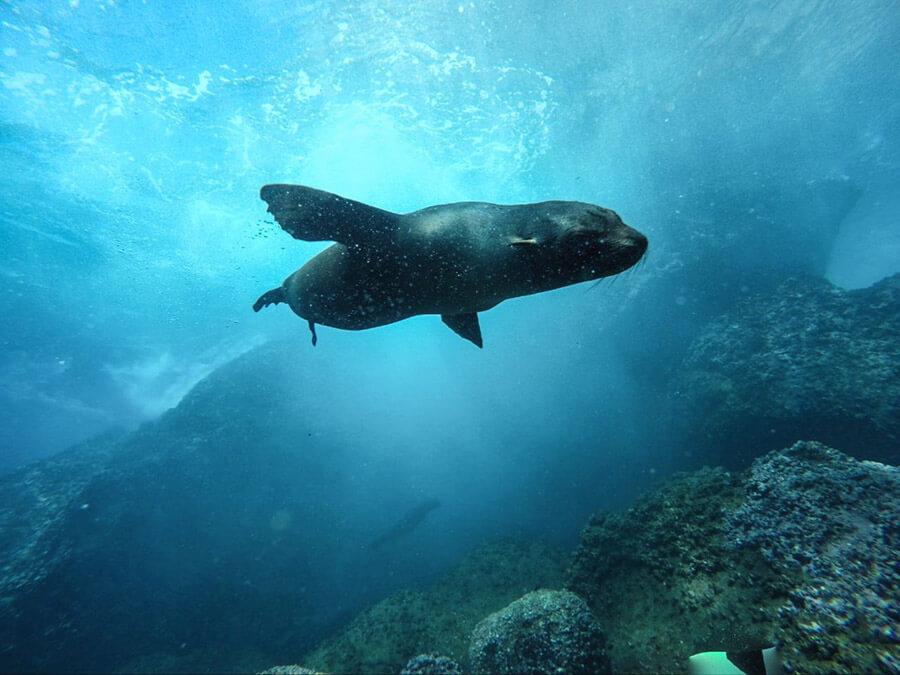 foca peletera