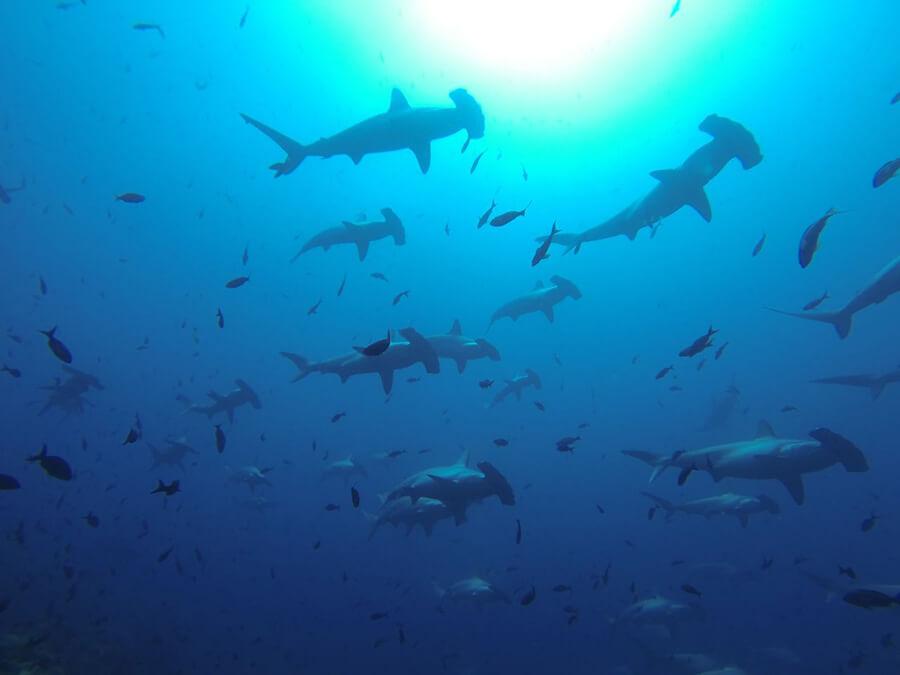 isla wolf tiburones martillo