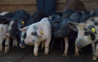 venta de animales en Otavalo