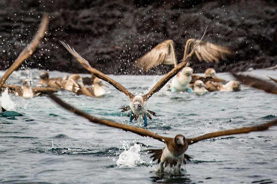 piqueros Galápagos