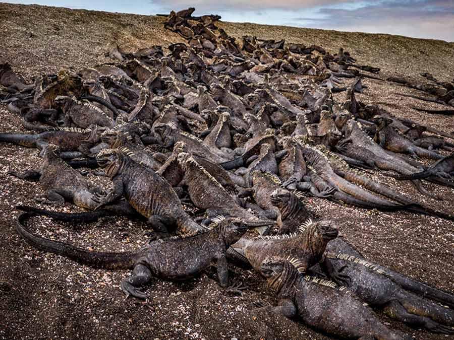 iguanas marinas Galápagos