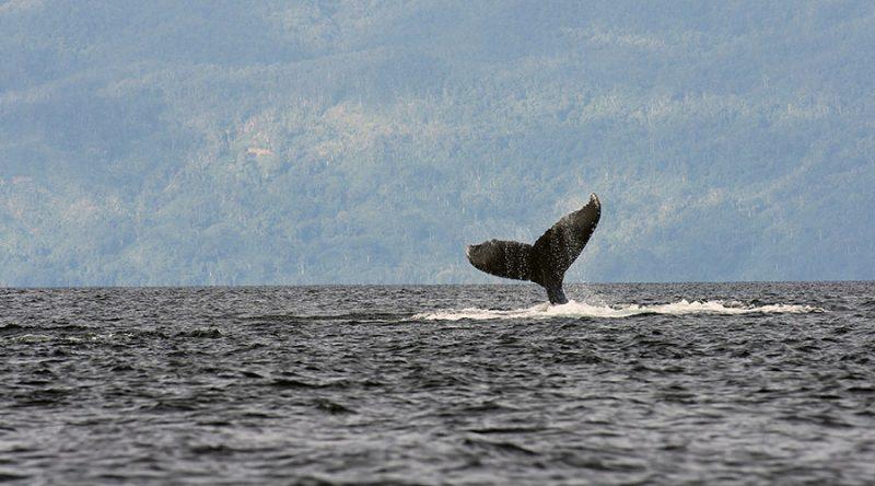 por qué cantan las ballenas jorobadas