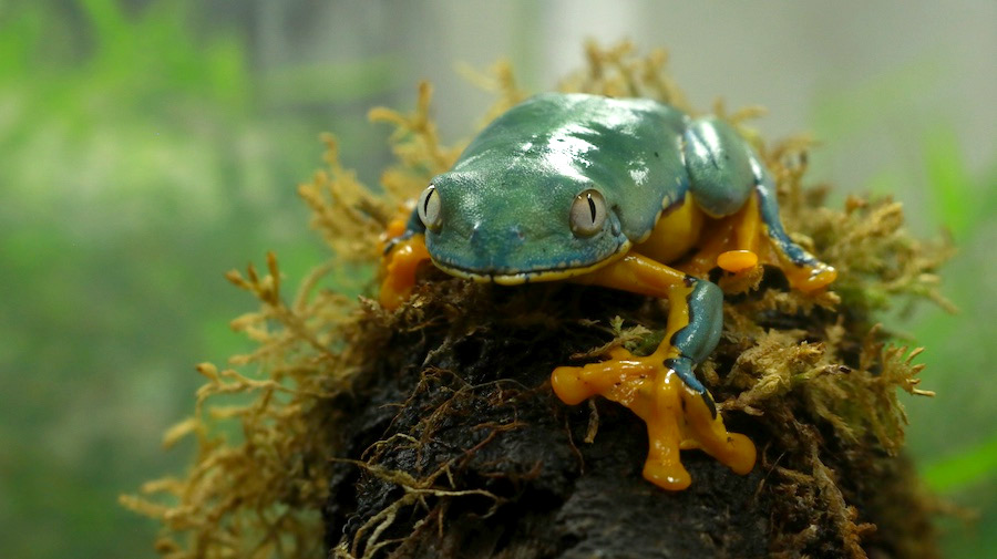 Conservación de anfibios en Ecuador en la balsa de los sapos.