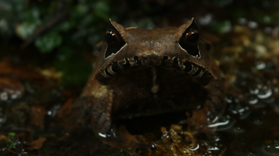 ranas de Ecuador