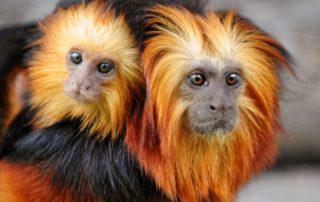mono-leon-dorado