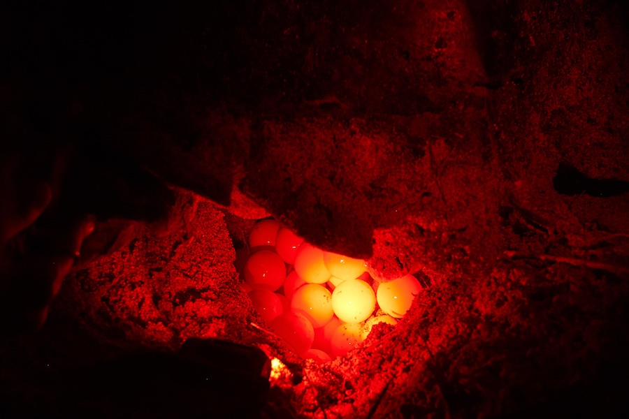 monitoreo de nidos de tortugas