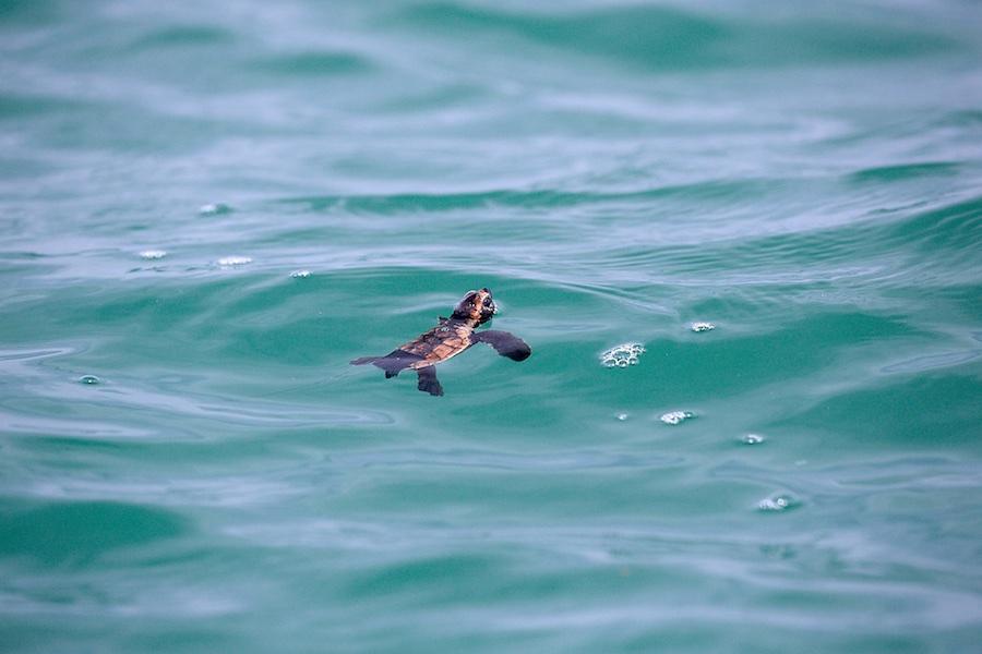 conservación de las tortugas carey