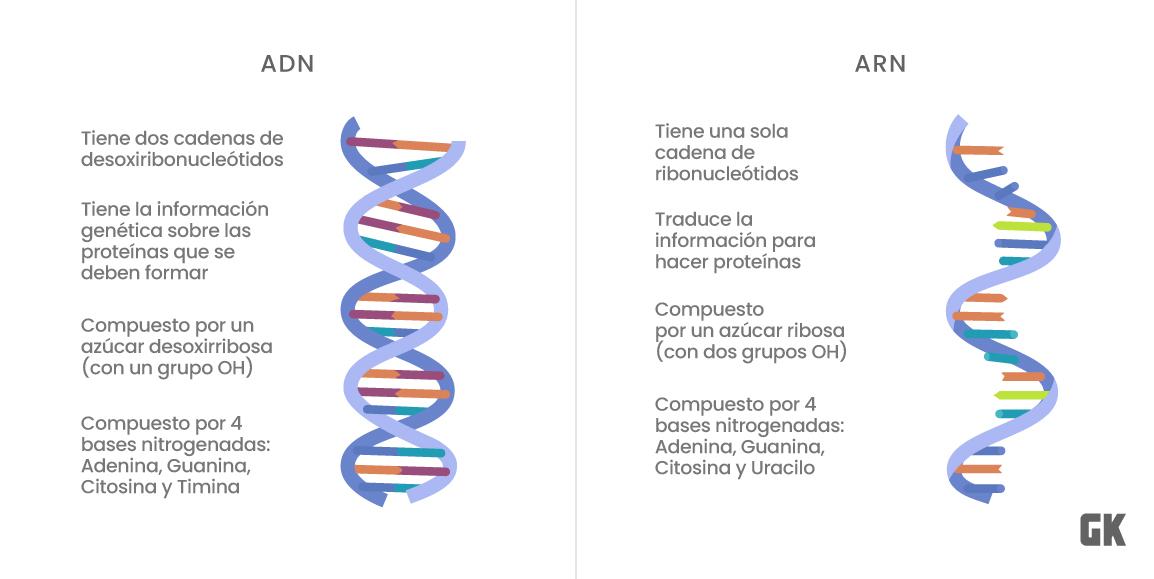 diferencias ADN ARN