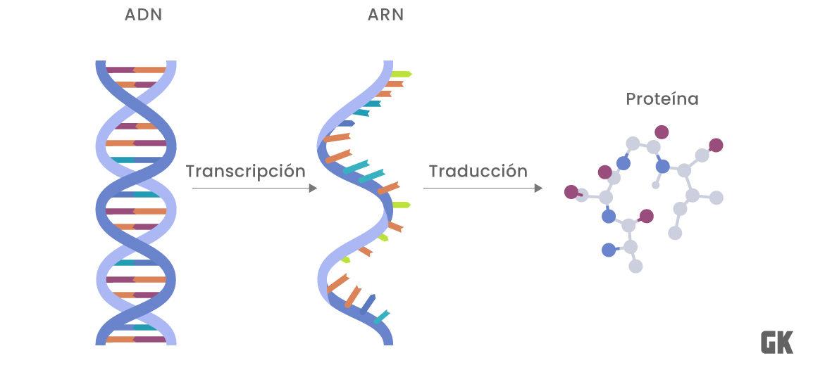 ADN ARN proteína