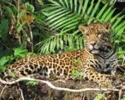 jaguares en Ecuador